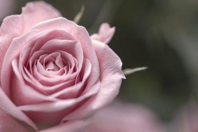 roses éternelles rose
