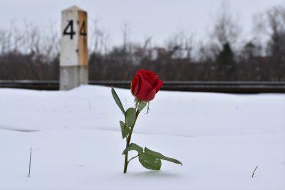 petite rose stabilisée naturelle