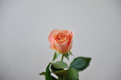 rose naturelle avec des feuilles