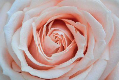 rose éternelle rose naturelle