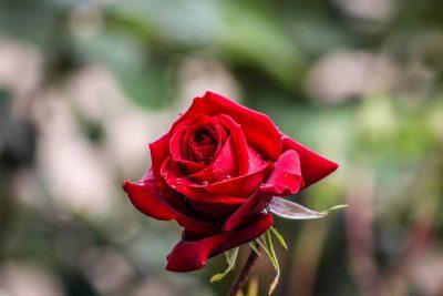 petite rose rouge naturelle