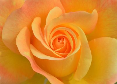 rose couleur or